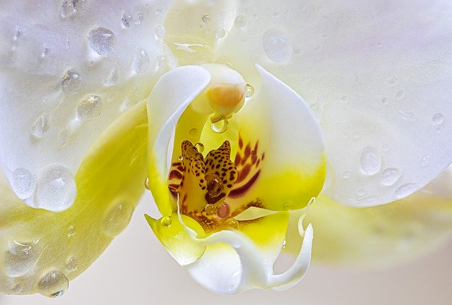 Orchid History of the World